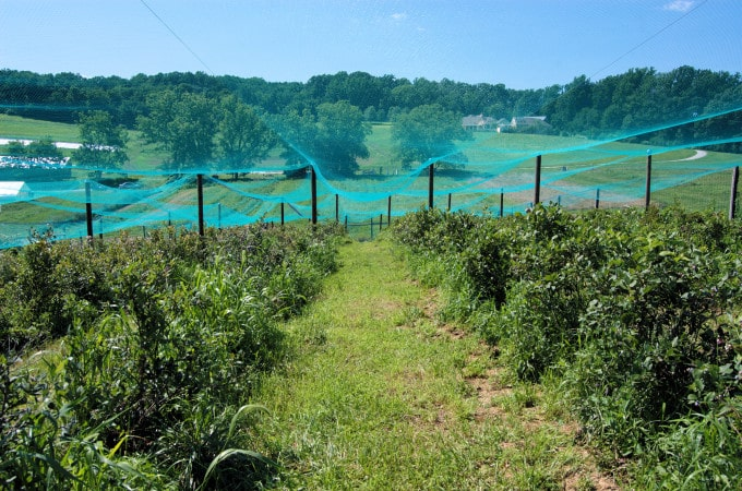 This is the blueberry patch at the farm. The netting keeps the birds out.