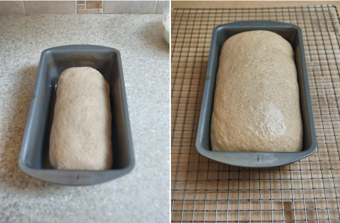 milk & honey whole wheat bread before and after rising in the pan