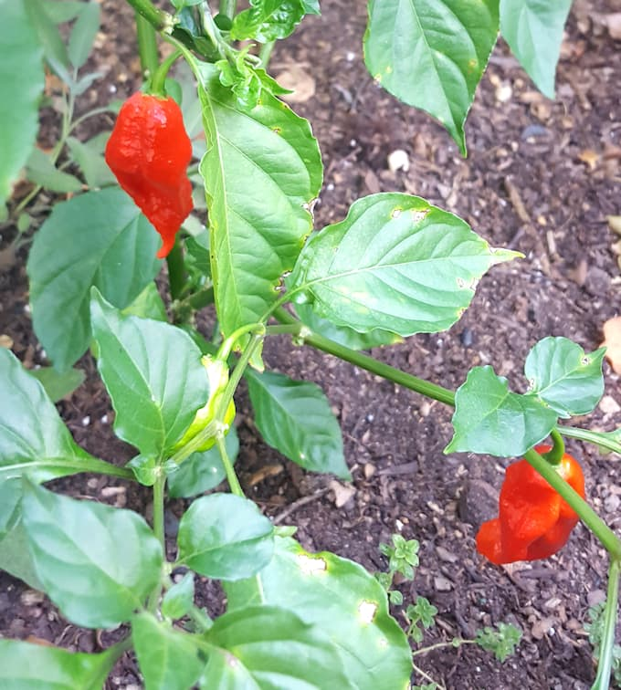 a ghost pepper plant