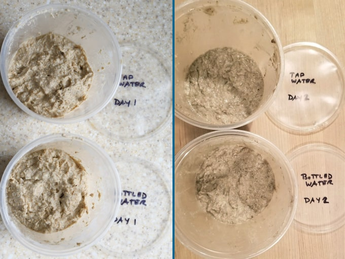 side by side photos showing daily progress for sourdough starter