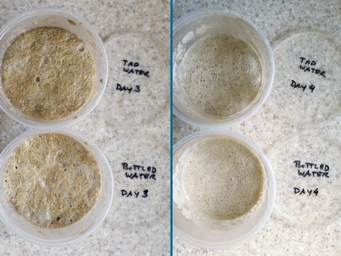 side by side photos showing day 3 and 4 for sourdough starter