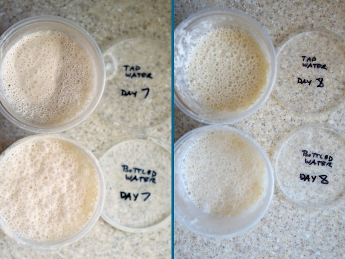 side by side photos showing day 7 and 8 of building a sourdough starter